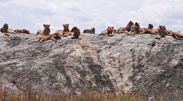 Lions se prélassant et guettant sur les rochers au Serengeti. Source de la photo: https://realafrica.co.uk/blog/tag/pride-rock/