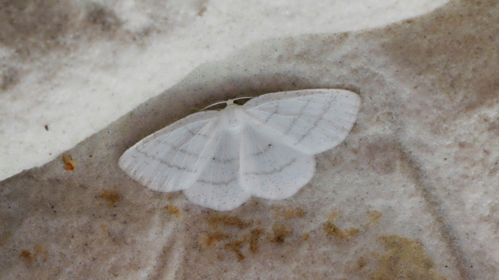 Une Phalène (Cabera pusaria) s'est cachée à l'ombre, dans la caverne mésolithique, au coeur de la forêt.
