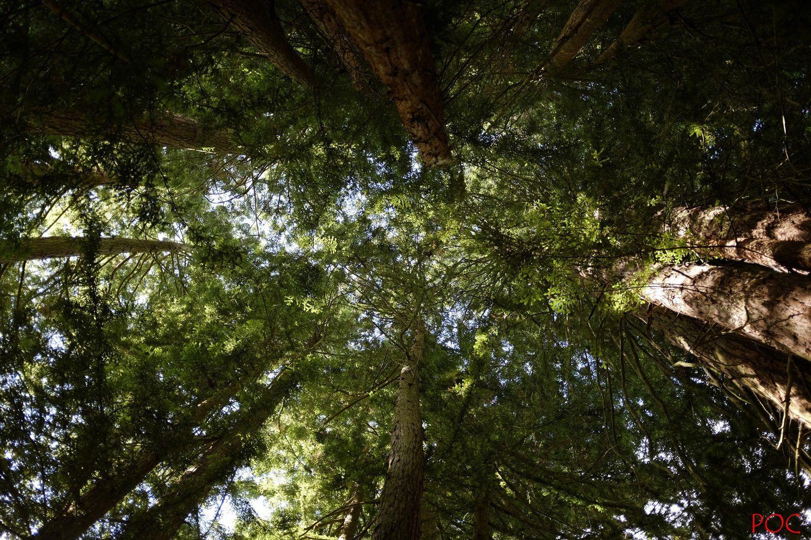 Dans la forêt de séquoias