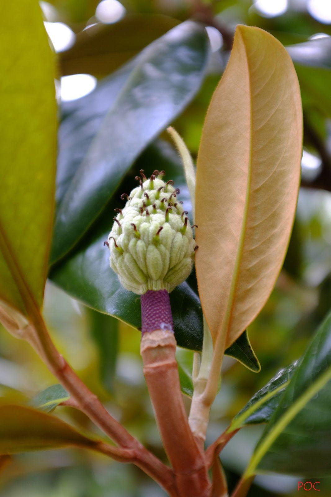 Le parfum de la fleur de kolaha des Choctaw