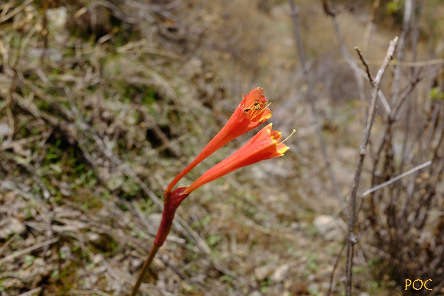 """Clinanthus incarus (Amaryllidaceae) - """"Atoqpacebolla"""". Pitunilla ex Costa Rica."""