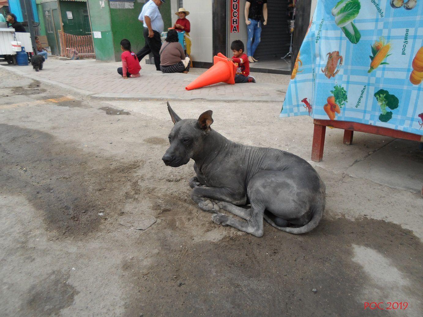 """Chien sans poils et sans voix (""""perro chino"""") à Chala. Cette race sélectionnée depuis des temps immémoriaux par les peuples d'Asie et du Pacifique était destinée à être rôtie et consommée, comme c'est toujours le cas en Asie du Sud-est. Au Pérou, comme dans d'autres pays d'Amérique centrale et du sud (Mexique par exemple), il est élevé depuis les temps préhispaniques, mais aujourd'hui les gens ont oublié pourquoi et il n'est plus qu'un animal de compagnie un peu étrange."""