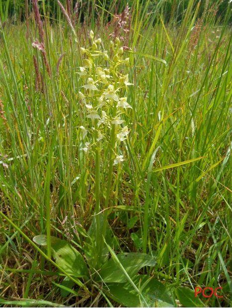 Platanthera chlorantha. Prairie de la rue Creuse à Auffargis. Photo: Pierre-Olivier Combelles