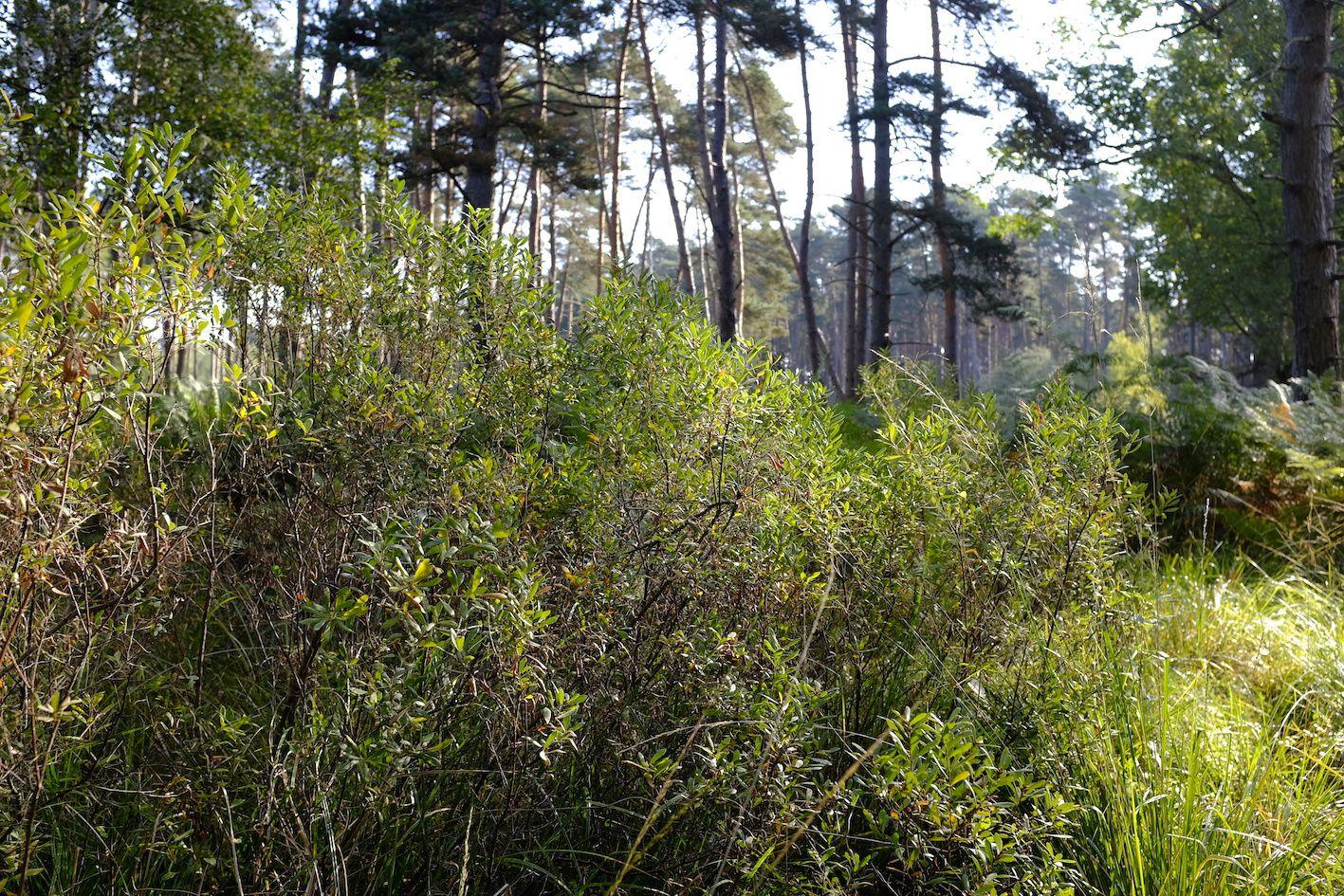 Pins sylvestres (Pinus silvestris) et myrique baumier (Myrica gale) échangent leurs parfums dans la Forêt de Rambouillet (Yvelines), entre Saint-Léger, Gambaiseuil et Condé-sur-Vesgre. Photo: Pierre-Olivier Combelles. Appareil: Fujifilm X100T.