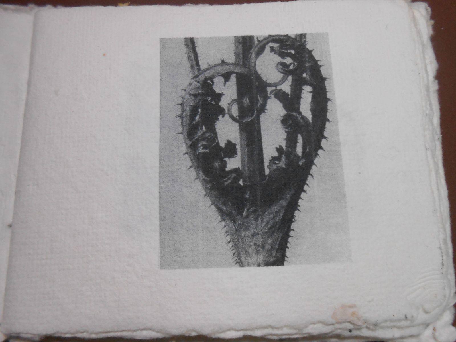 Les photos de Karl Blossfeld sur papier fait main