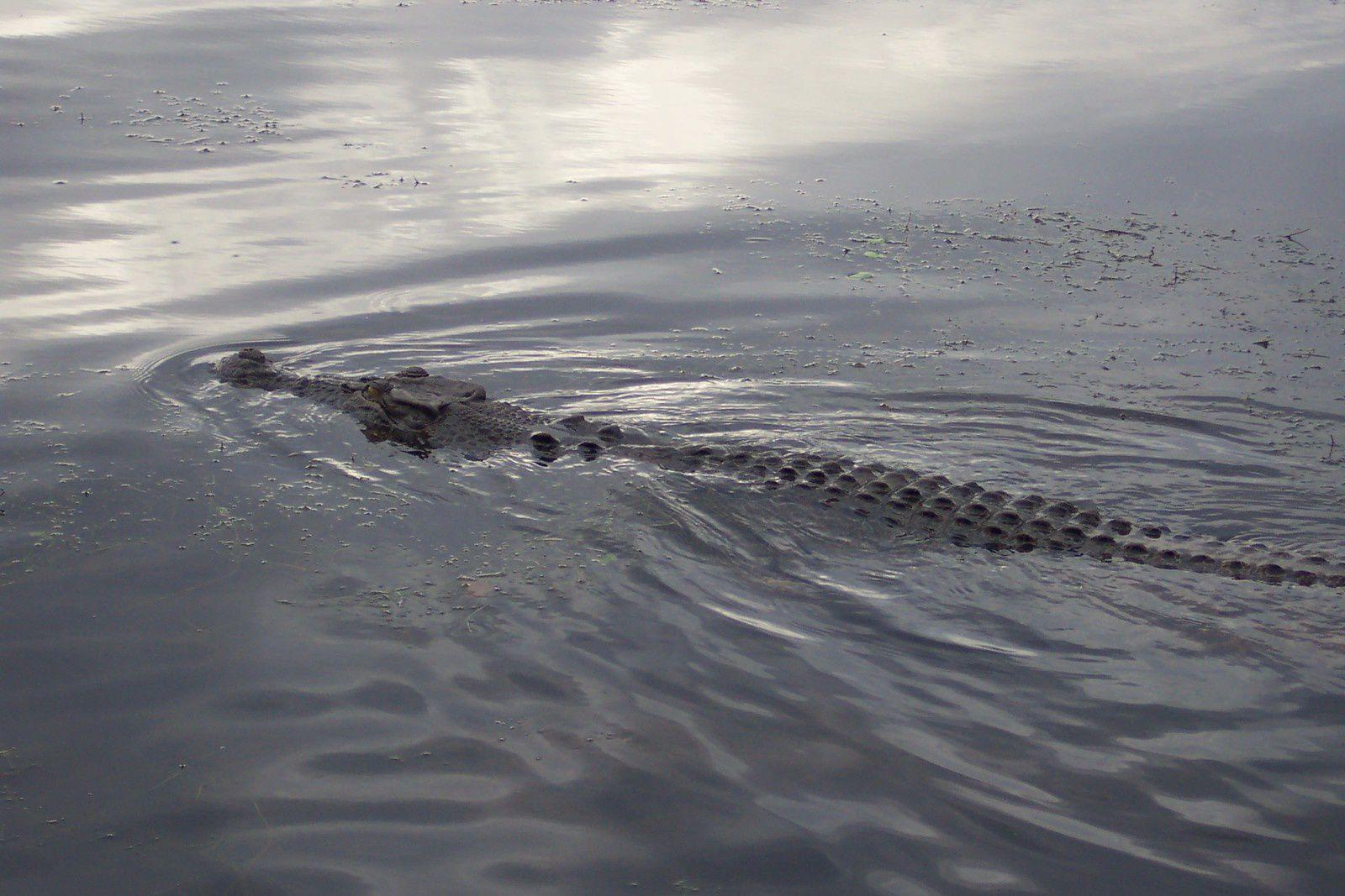 crocodile kakadu
