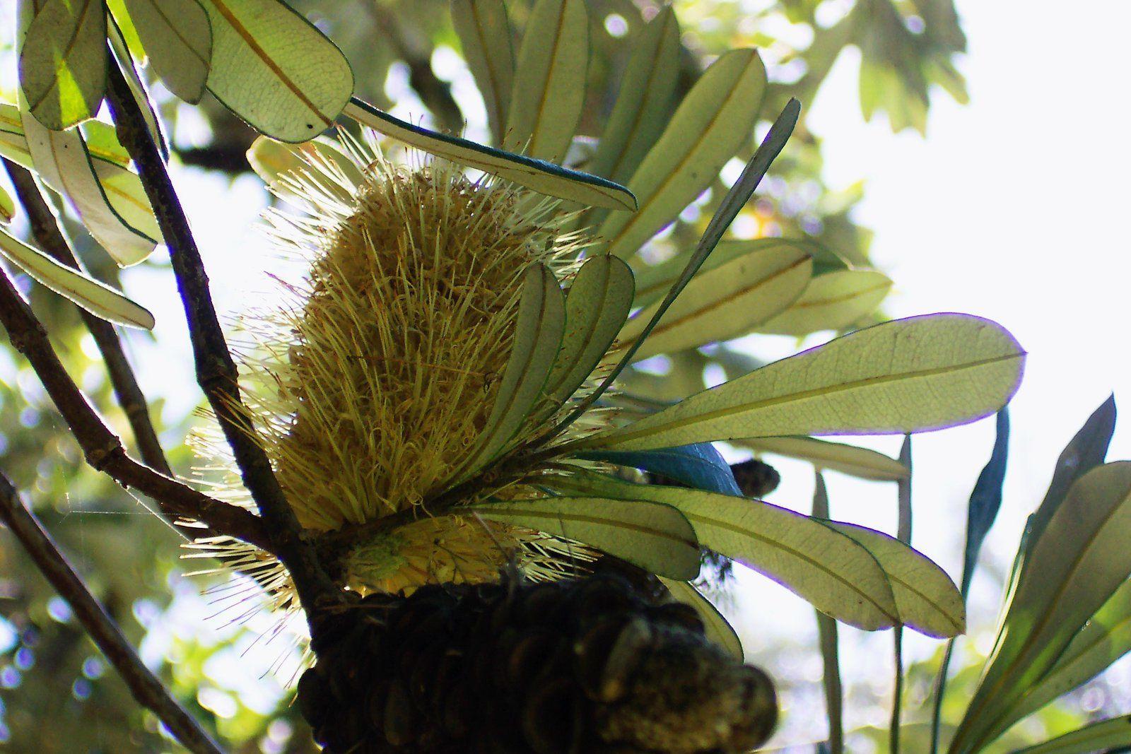 Plantes Australiennes