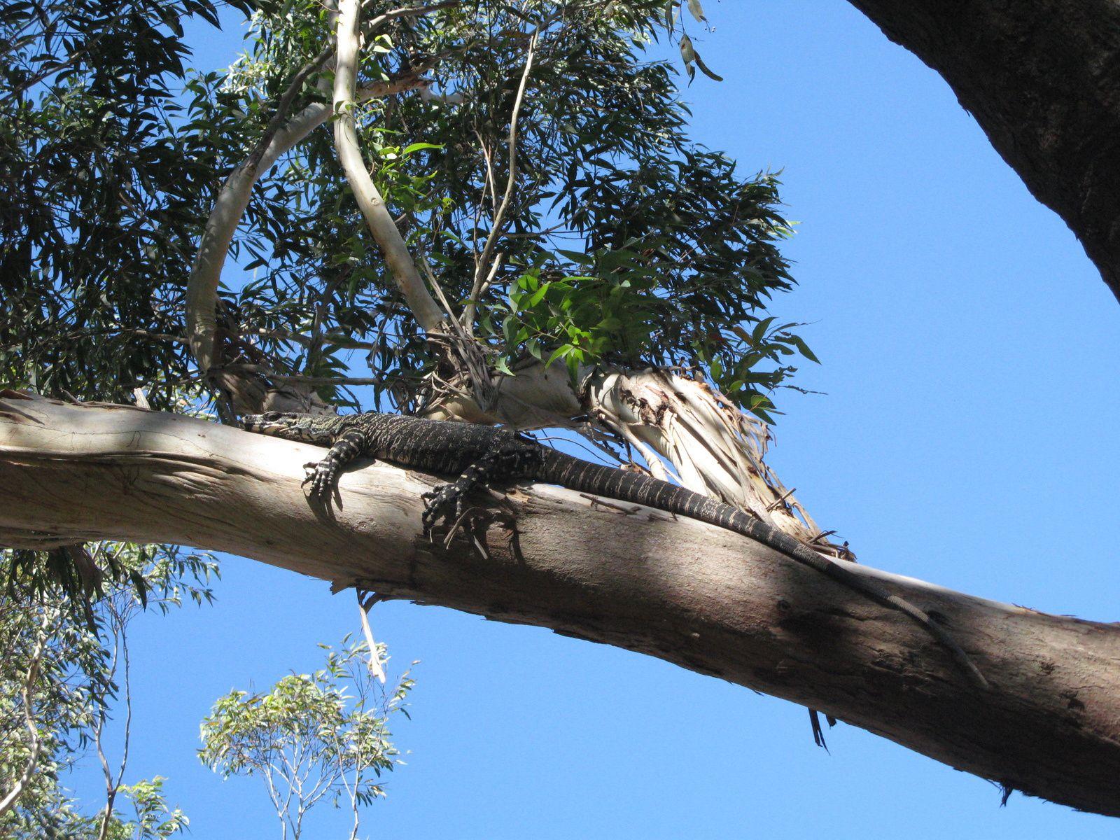 goana australie