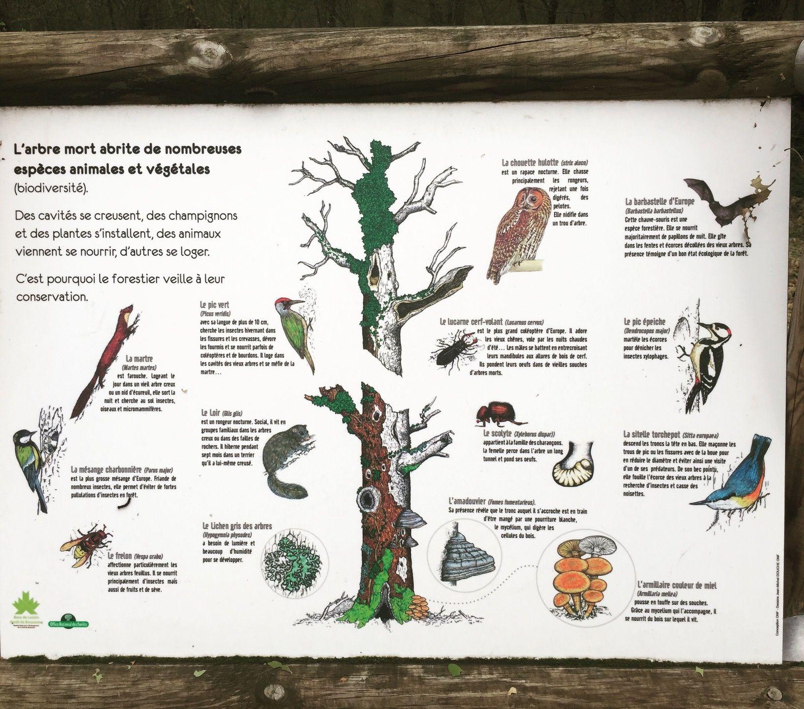 rôle des arbres morts : La forêt de Bouconne sur charlotteblablablog