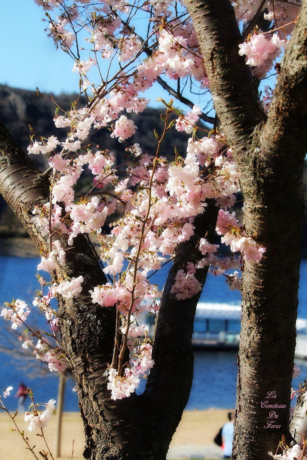 Saint-Victor-sur-Loire au printemps (loire, 42)