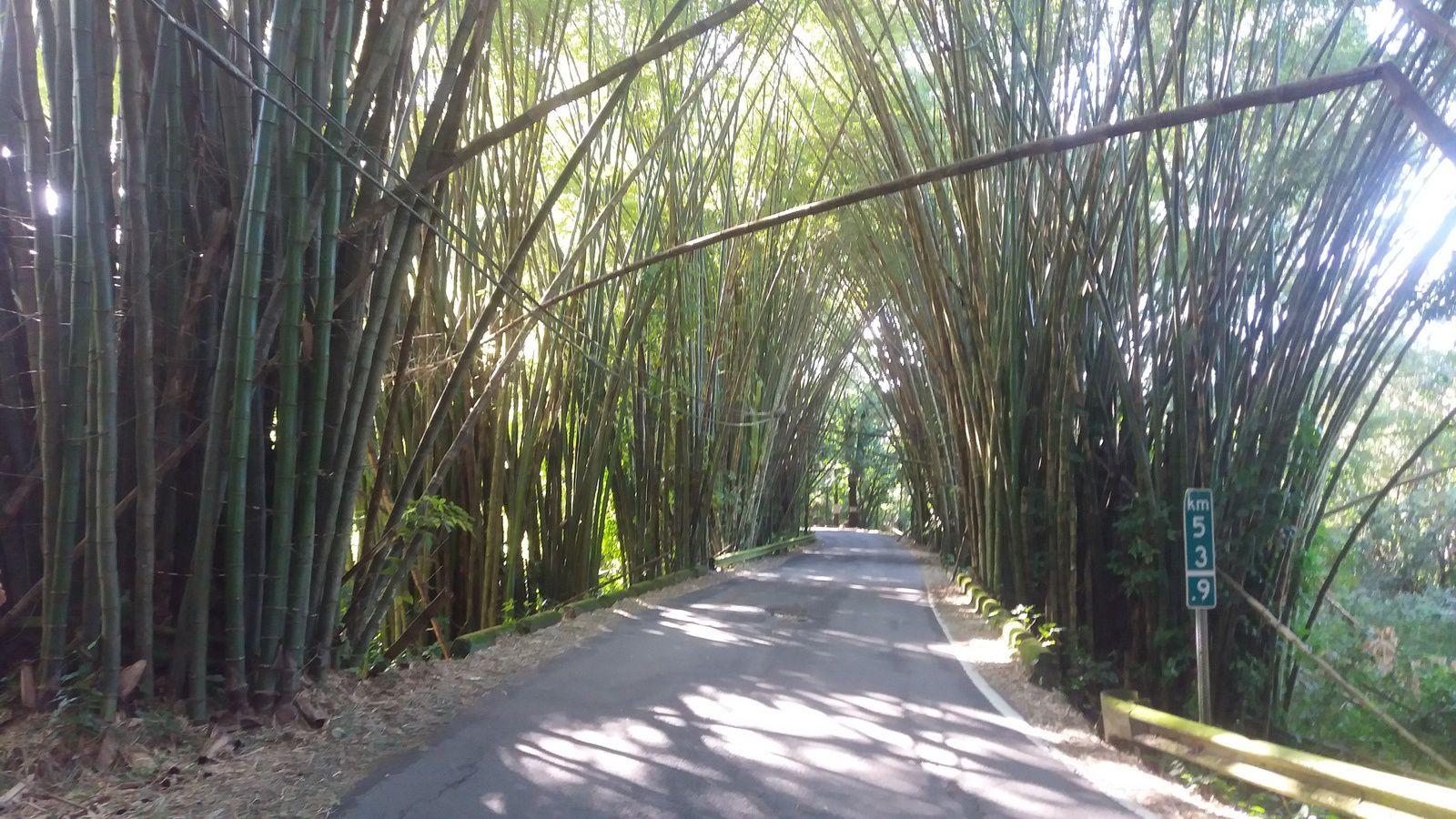 Forêt de bambous en bordure de route à Puerto Rico