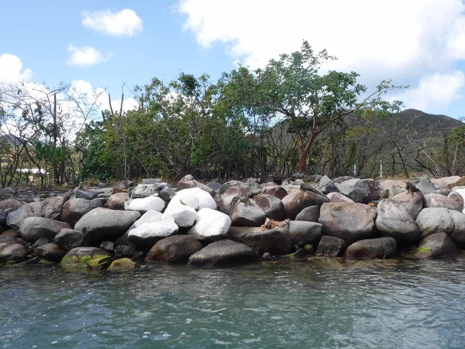 Iguanes bronzant sur les rochers ou dans les arbres