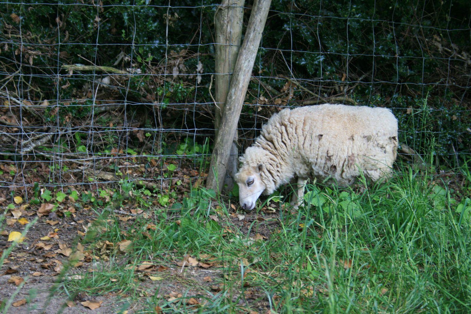 Alerte naissance en fin d'après-midi en apercevant une brebis contrariée.