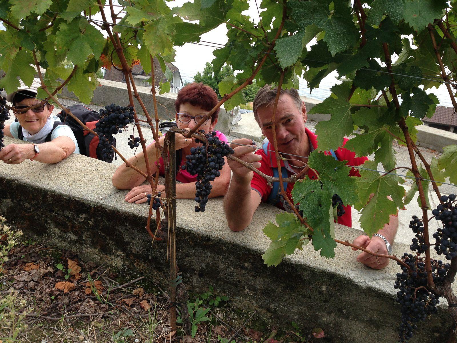 Dégustation de vin ,moût et raisins