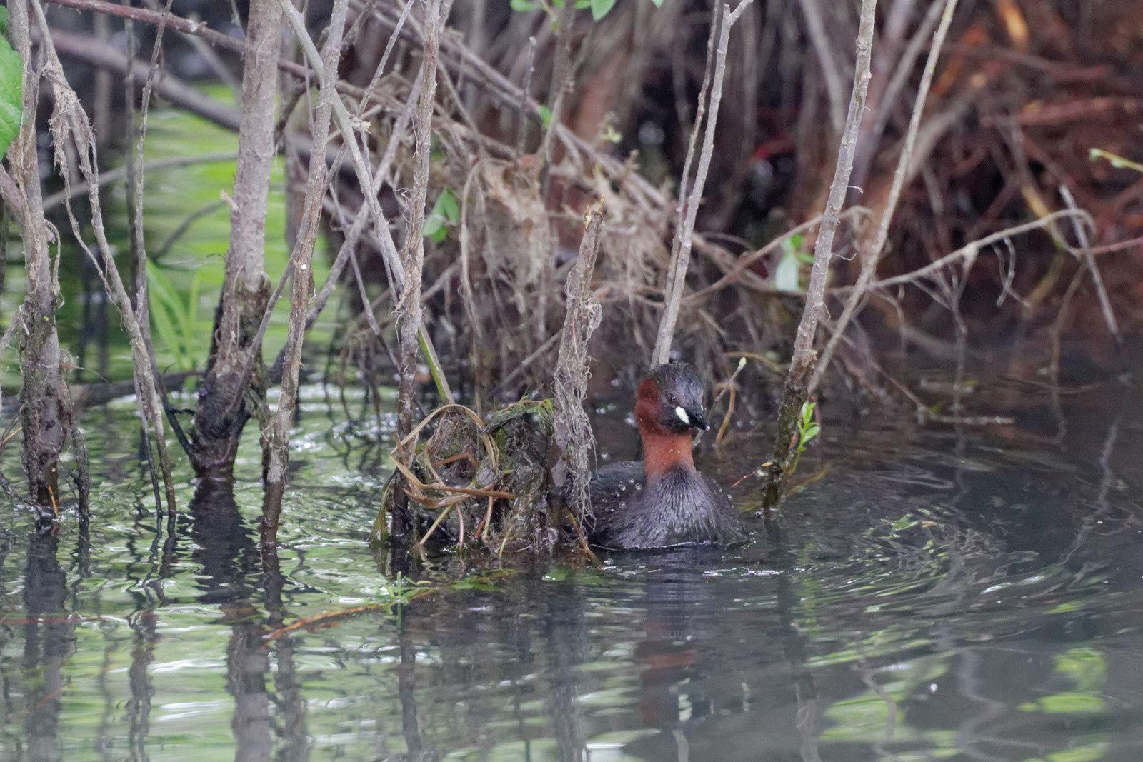 116 : Le Rossignol :  un oiseau à écouter : 30/04/2014