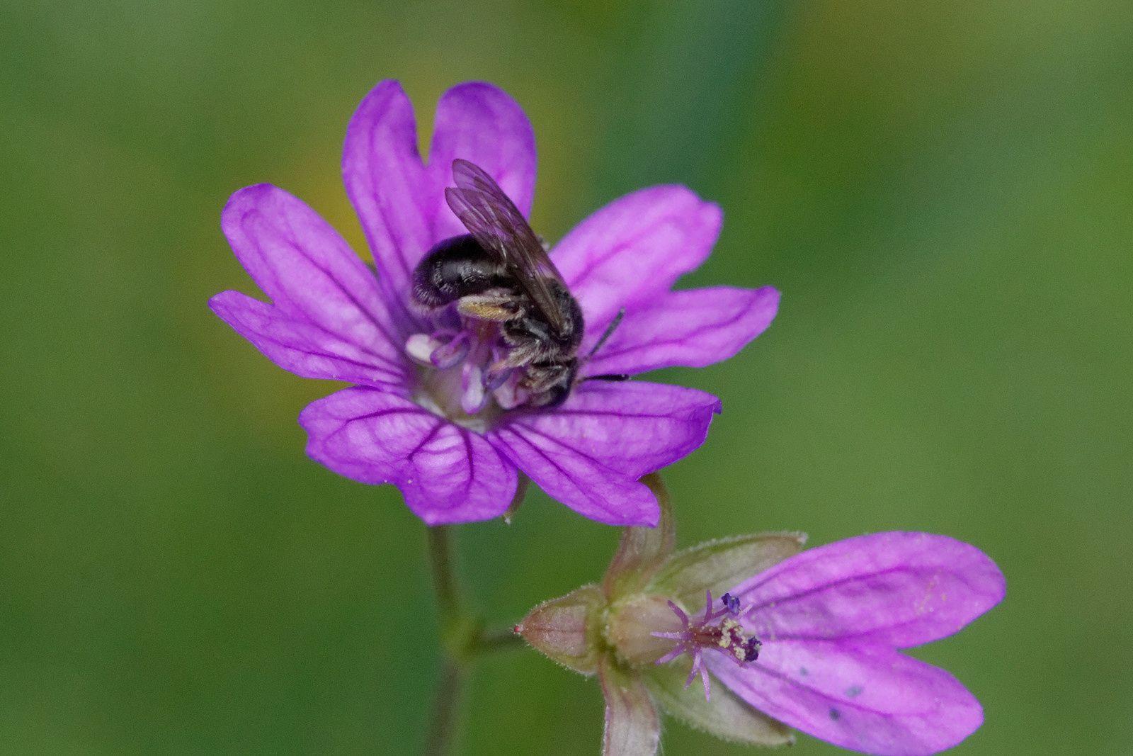 Un Halictide, sans pouvoir en dire davantage, et pollinisateur !
