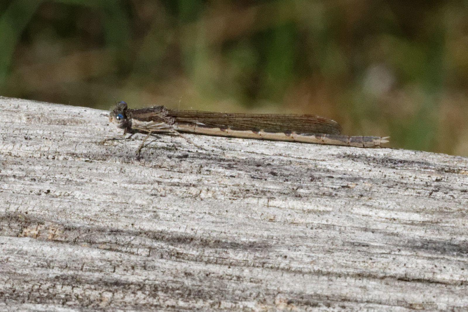 Un Leste brun (Sympecma fusca)