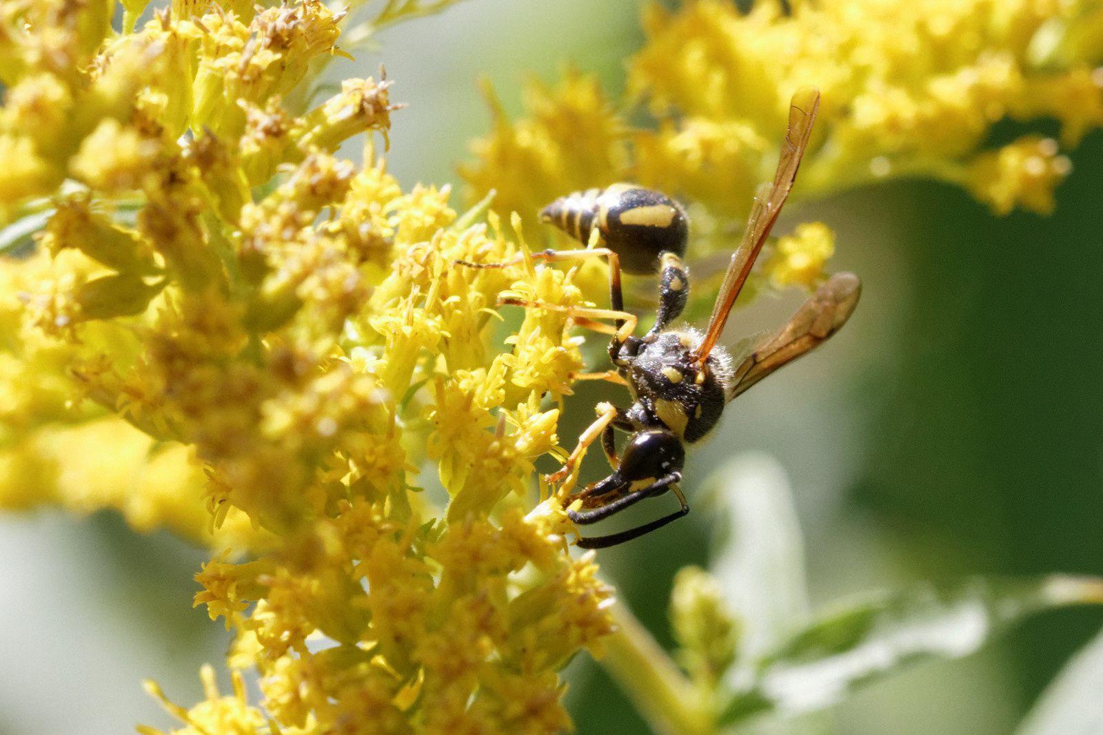 74 - Les pollinisateurs à la Haute-Île