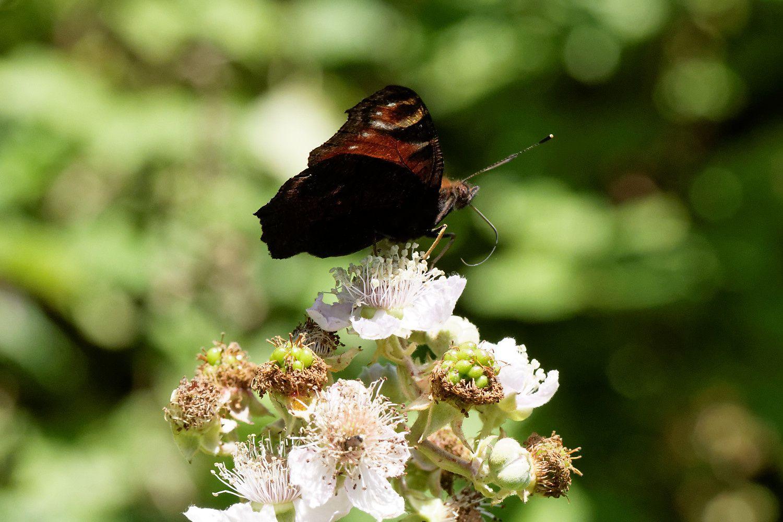 Les mêmes fleurs sont très convoitées ! Entre Papillons et Abeilles domestiques.