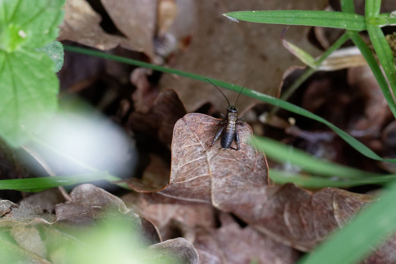 Nemobius sylvestris, un Grillon juvénile