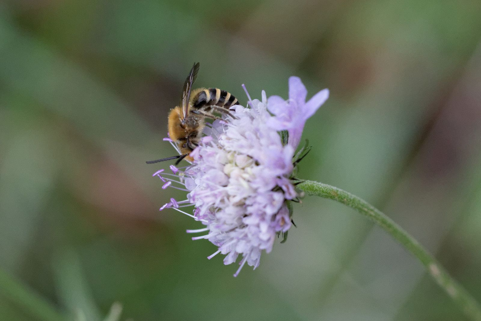 Colletes sp - mâle