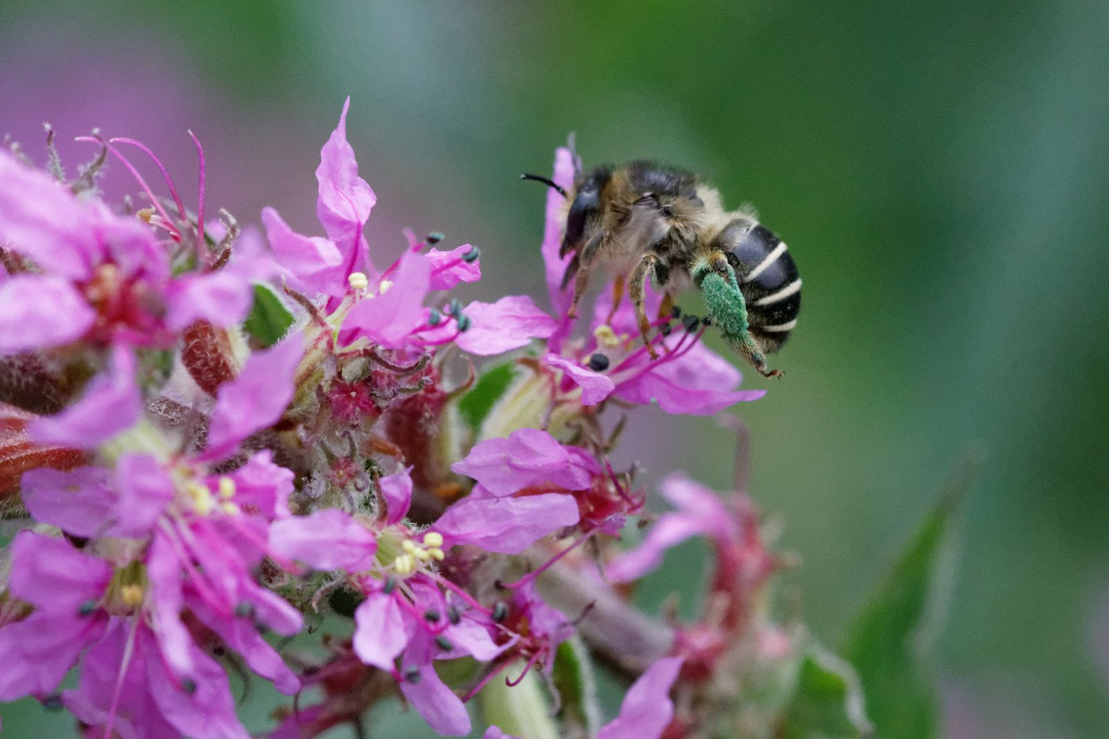 Abeille solitaire - Anthophora sp