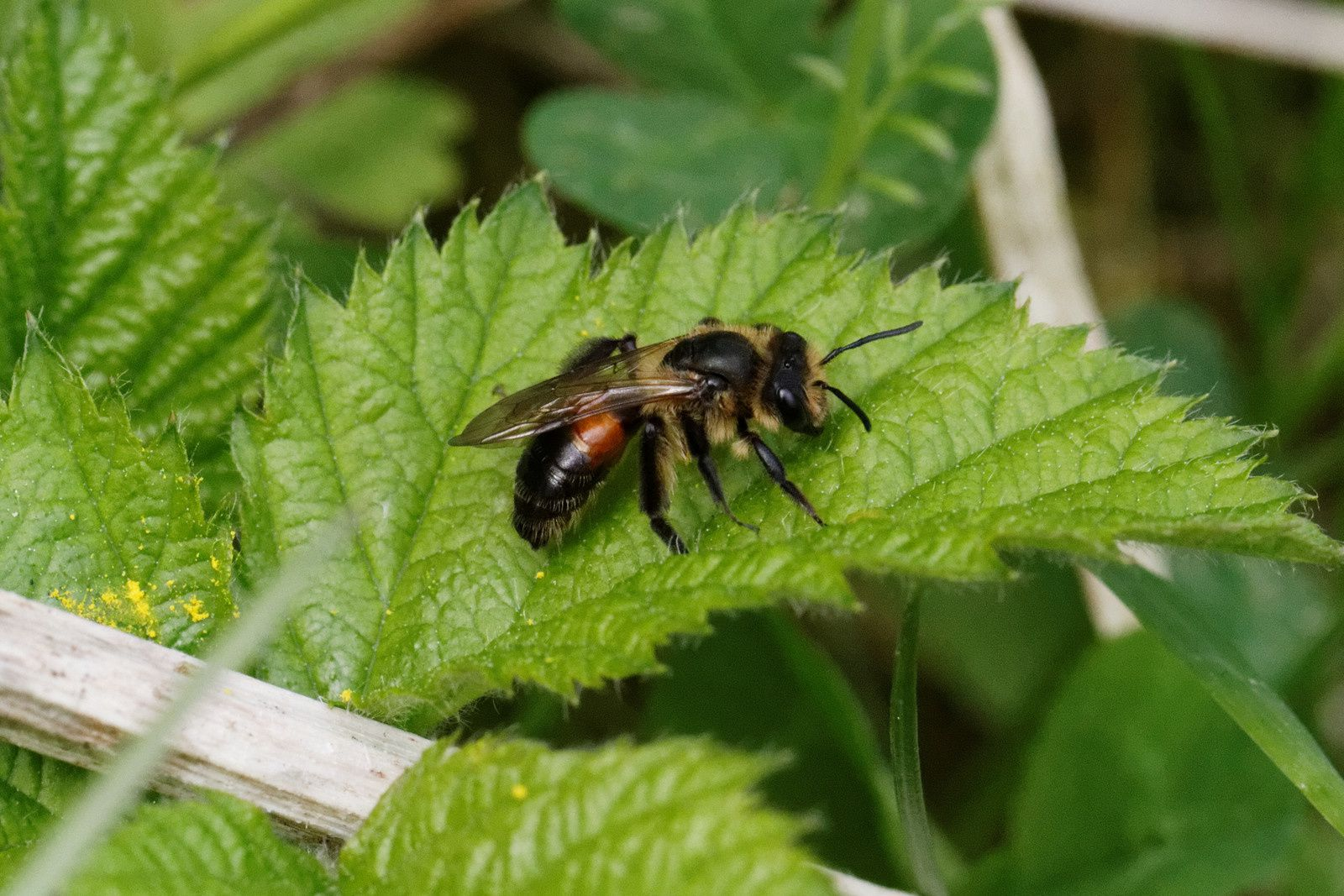 Andrena potentillae - possible