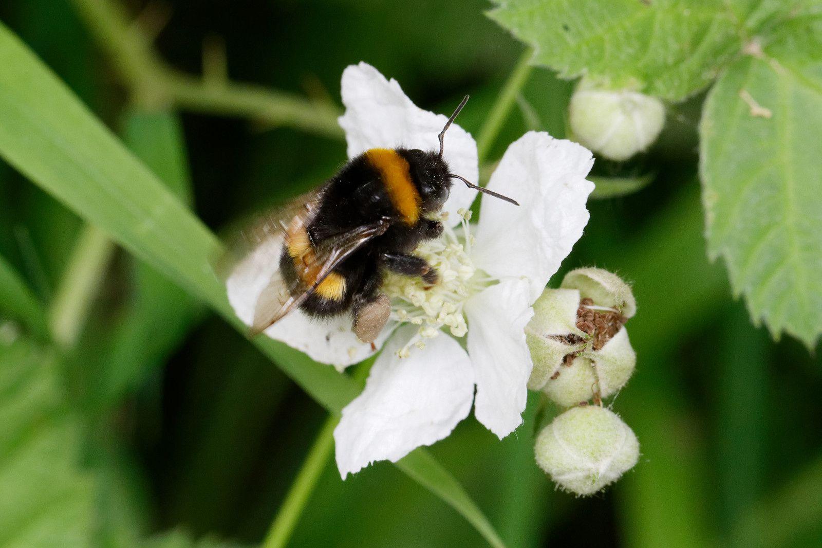 Regardez le pollen accroché à ses pattes.