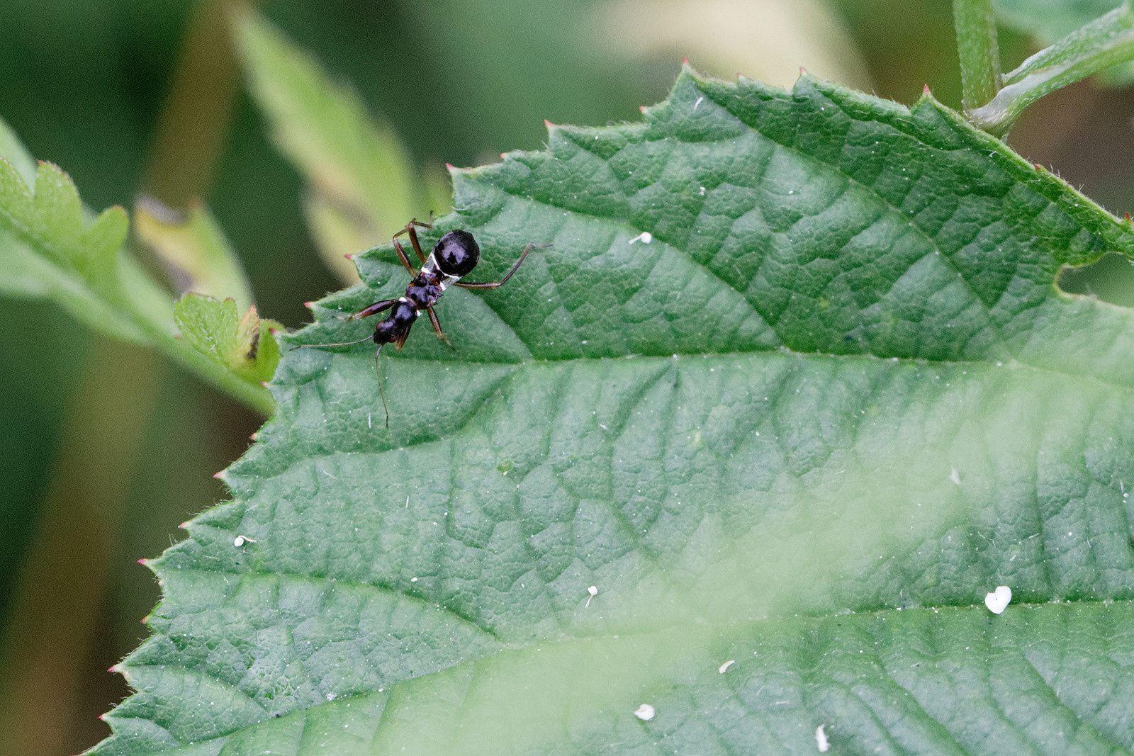 nouveauté ! 27/05/18 - expertise : une Punaise juvénile : Himacerus mirmicoides