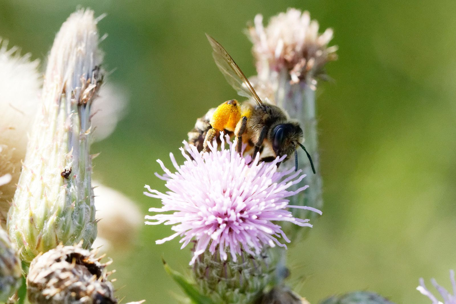 Abeille sauvage, Colletes sp possilbe