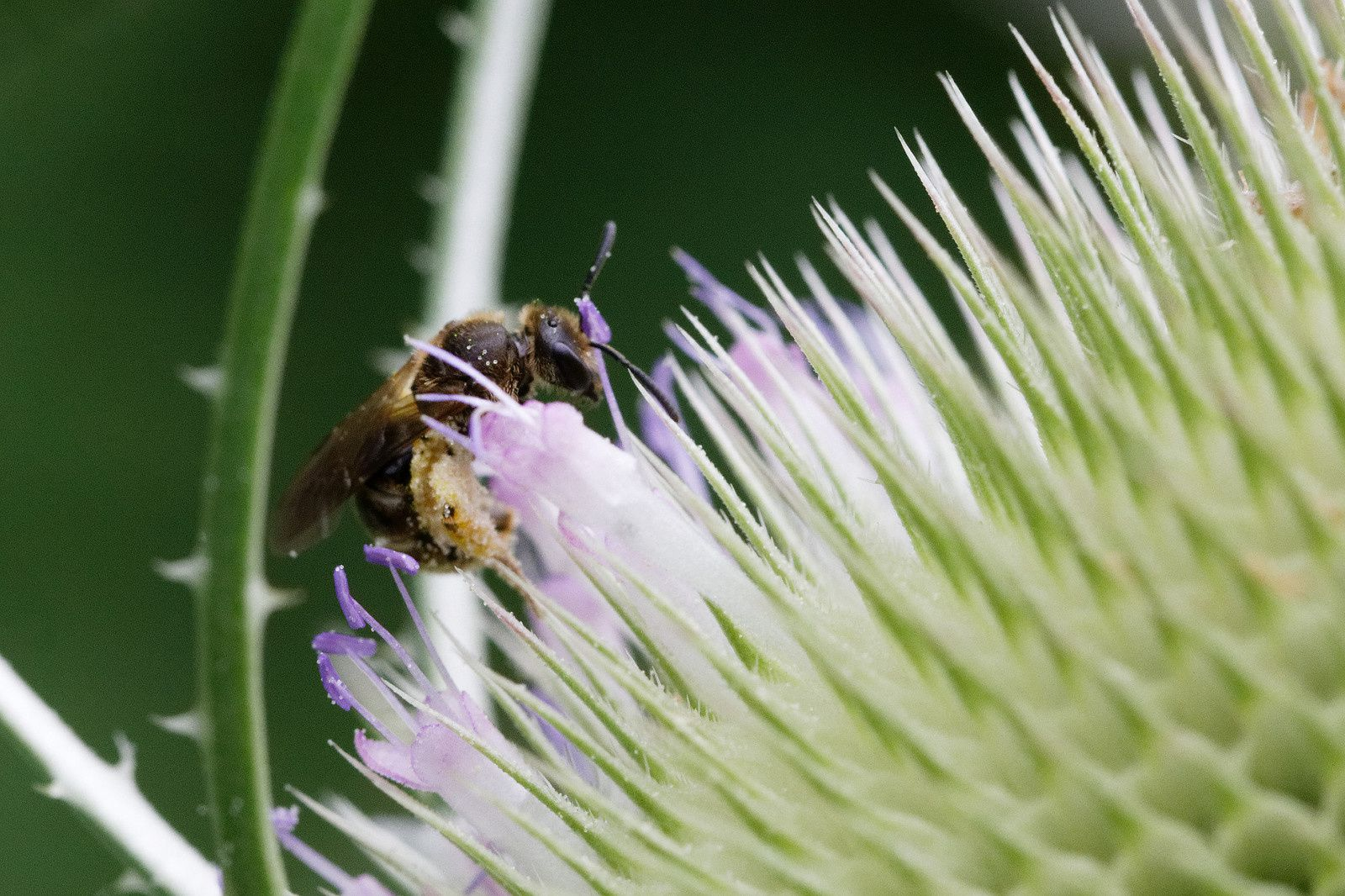 Une Abeille se charge à fond avant d'aller retrouver son nid : Lasioglossum sp.