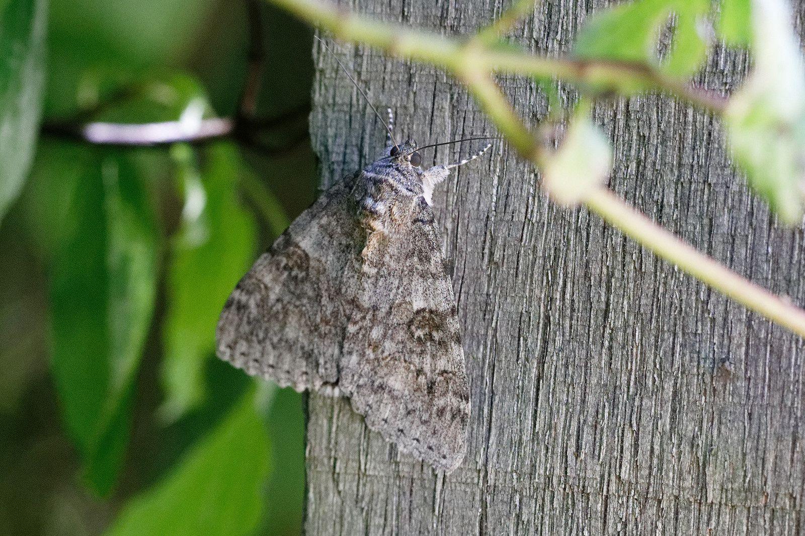 Catocala nupta. Il devient blanc ou ton clair quand il vole. Quelle est donc la couleur sous ses ailes ?