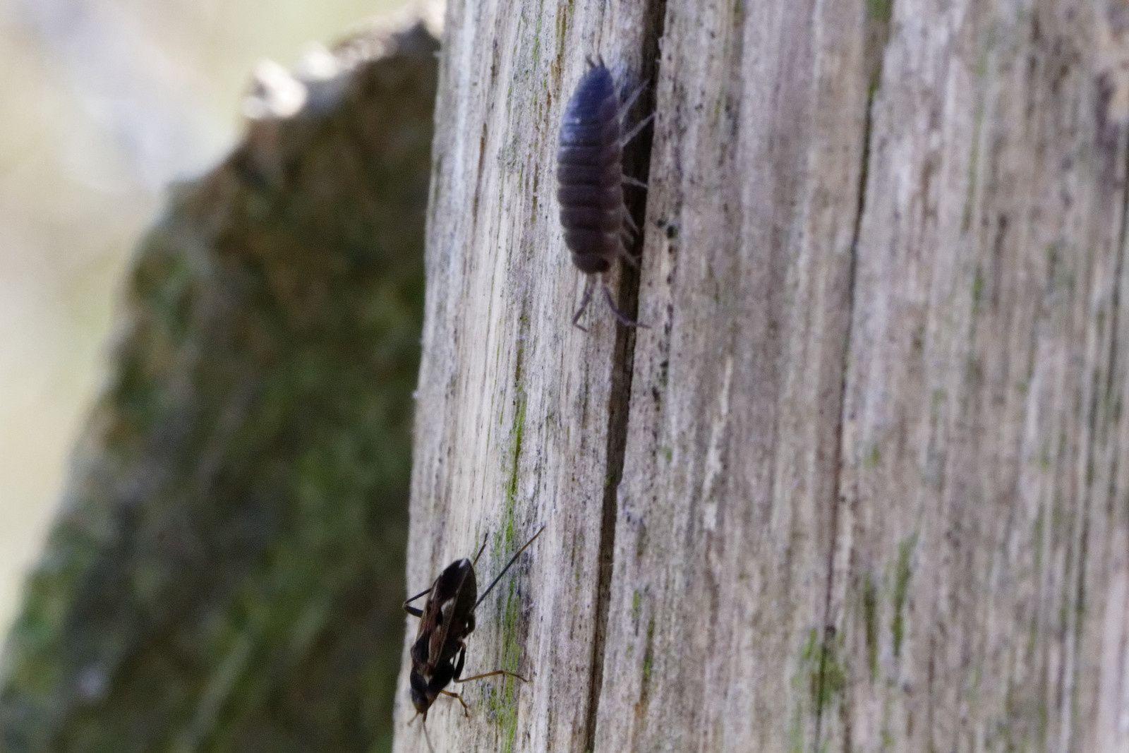 Ryparochromus vulgaris, apparition d'un Cloporte agressif (étonnant ?)...