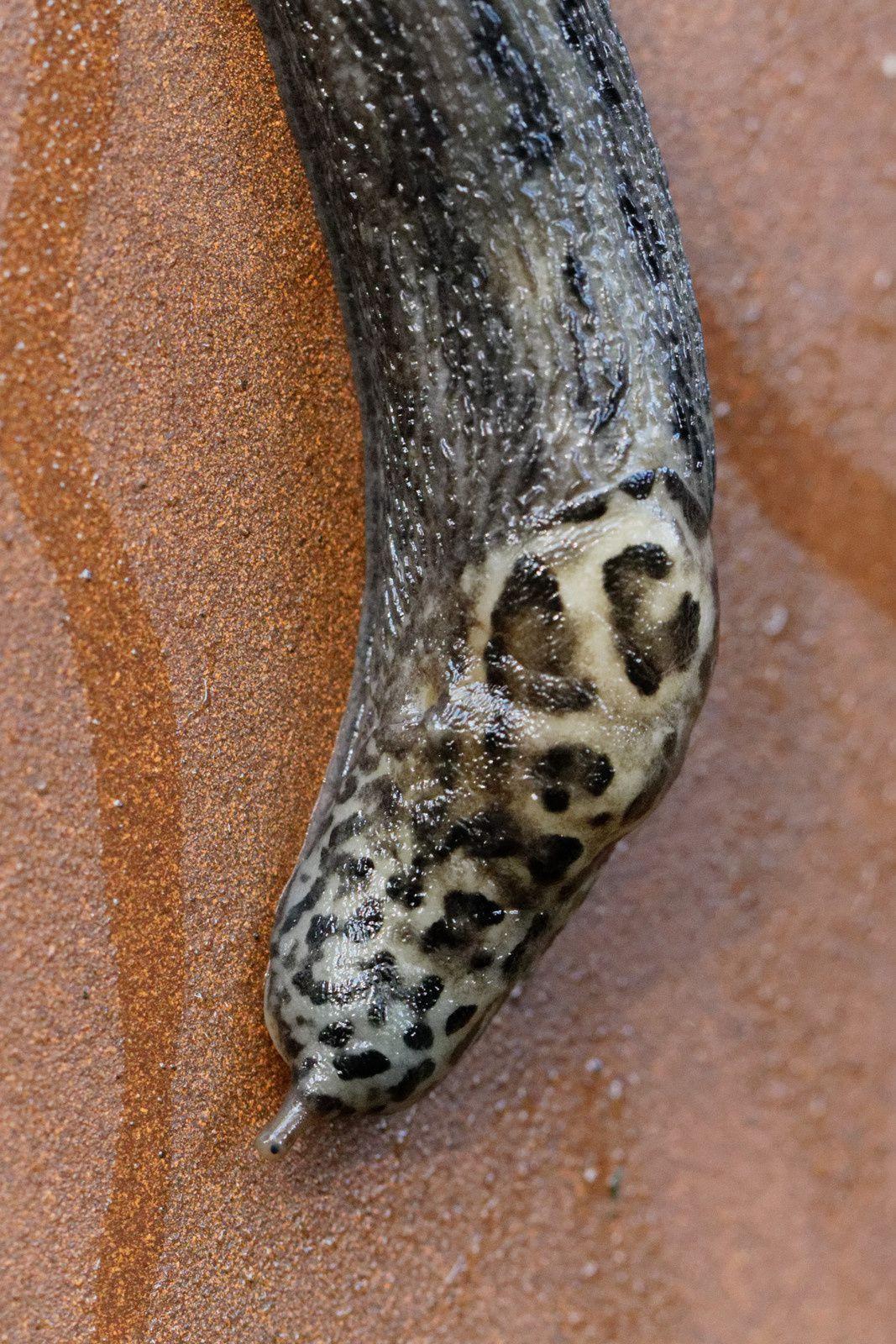Loche léopard (Limax maximus)