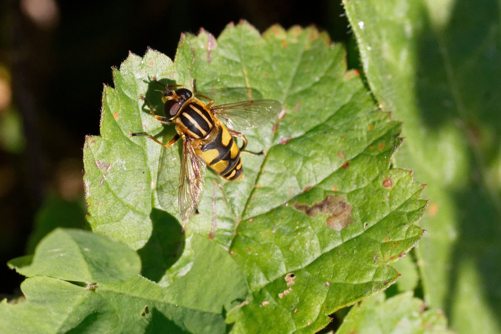 Syrphe ; Helophilus trivattatus, possible