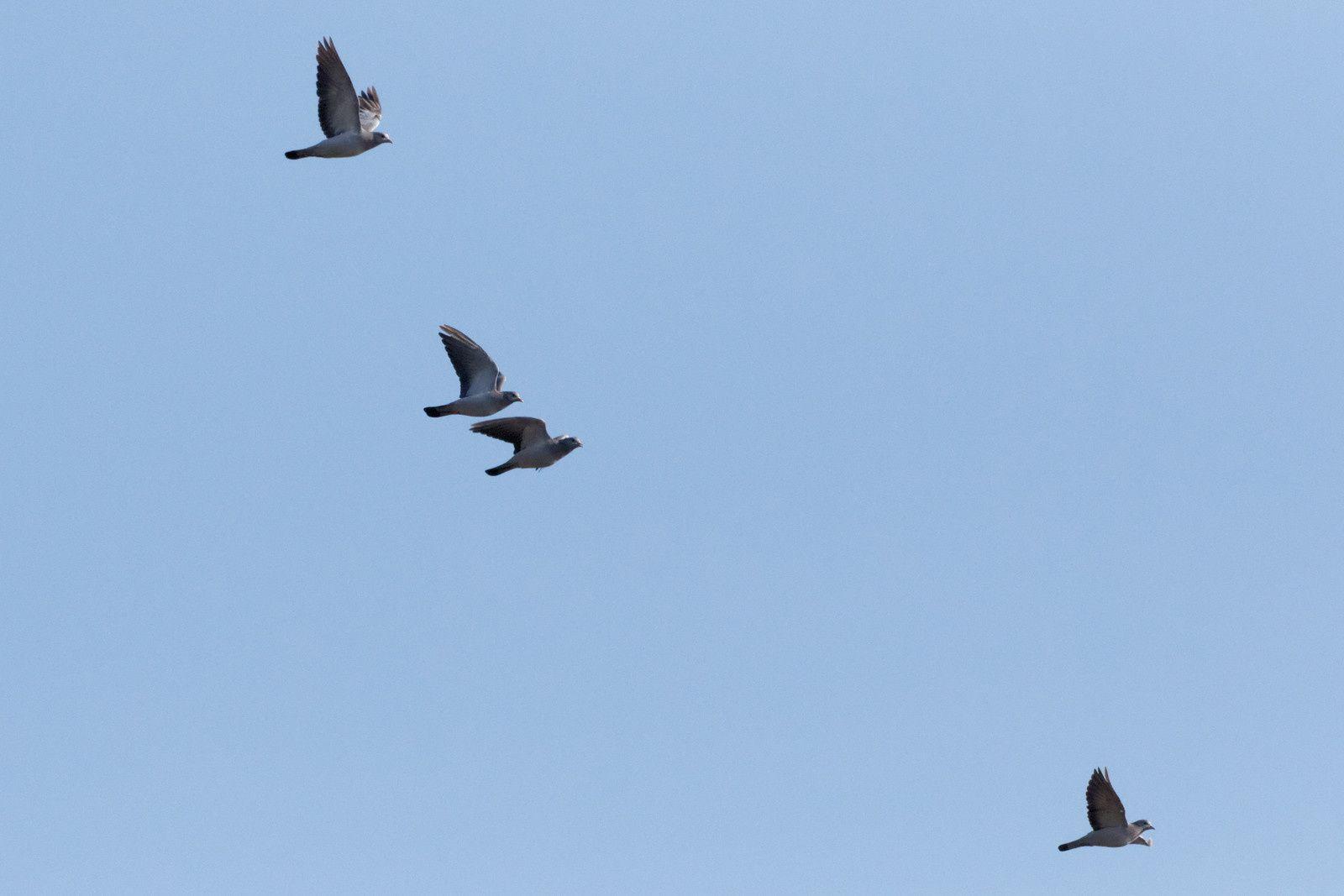 Pigeons colombins