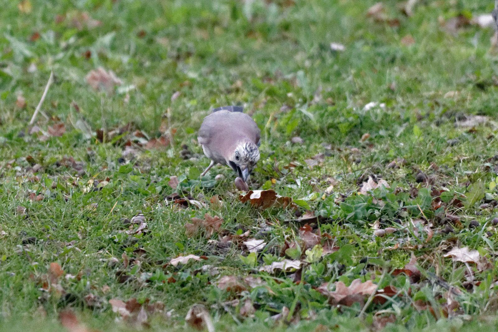 340 - Pic Epeiche, tu creuses ton nid pour cet hiver ? : 30/11/2017