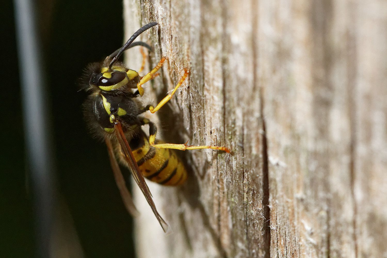 Gespula germanica