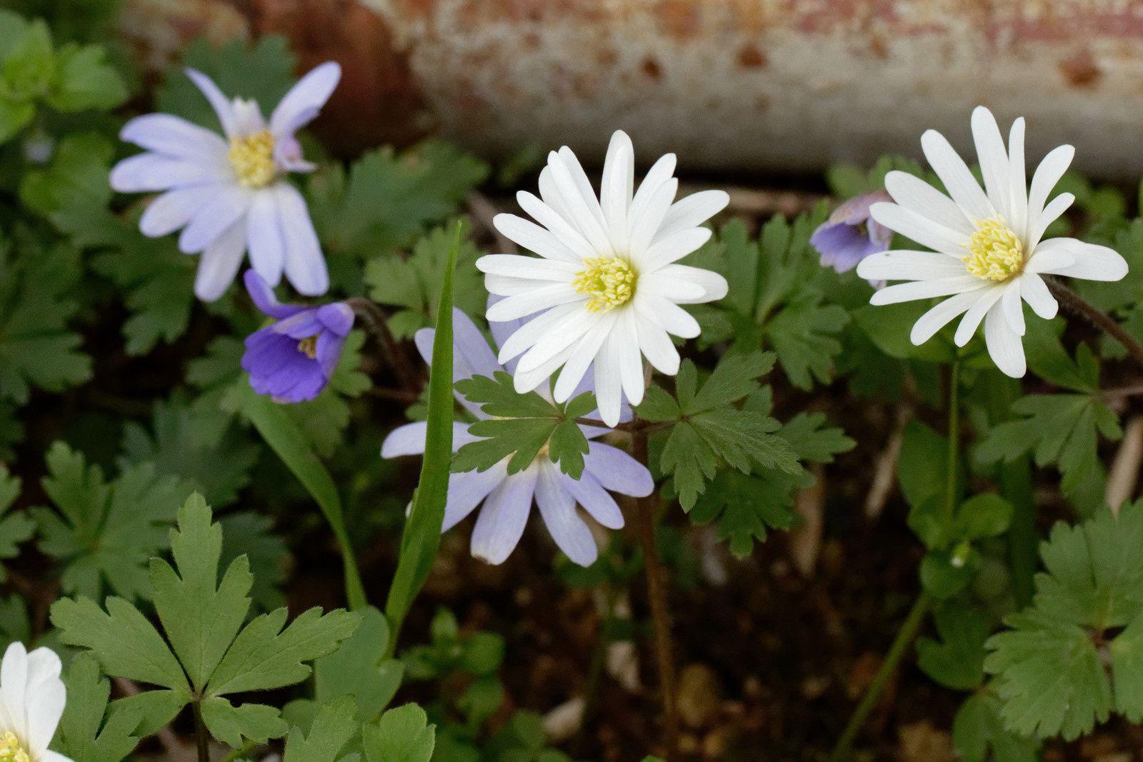 Anémone agréable (Anemone blanda)