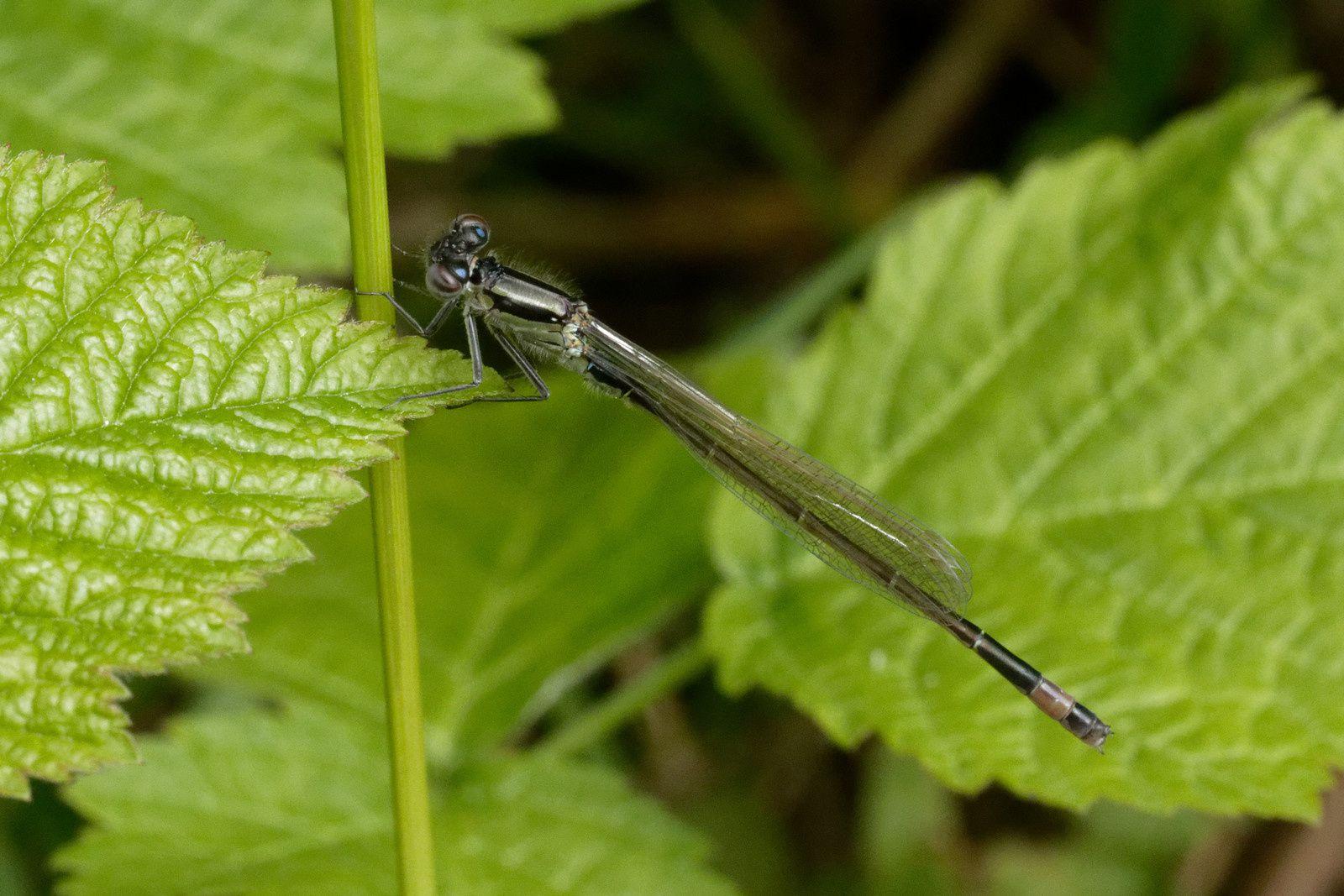 Ischnure élégante (Ischnura elegans), mâle immature