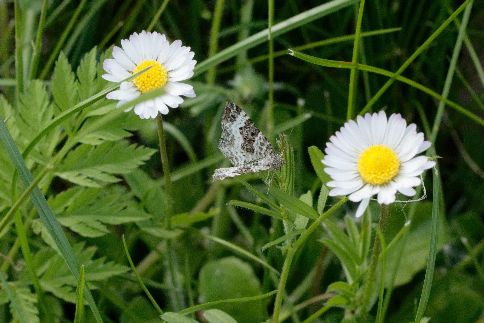 Papillon de nuit, l'Alternée (Epirrhoe alternata)