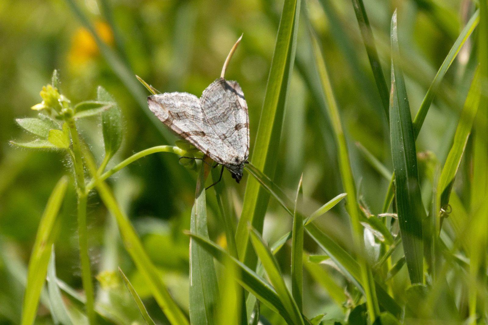Papillon de nuit, Rayure indéterminée (Aplocera sp.)
