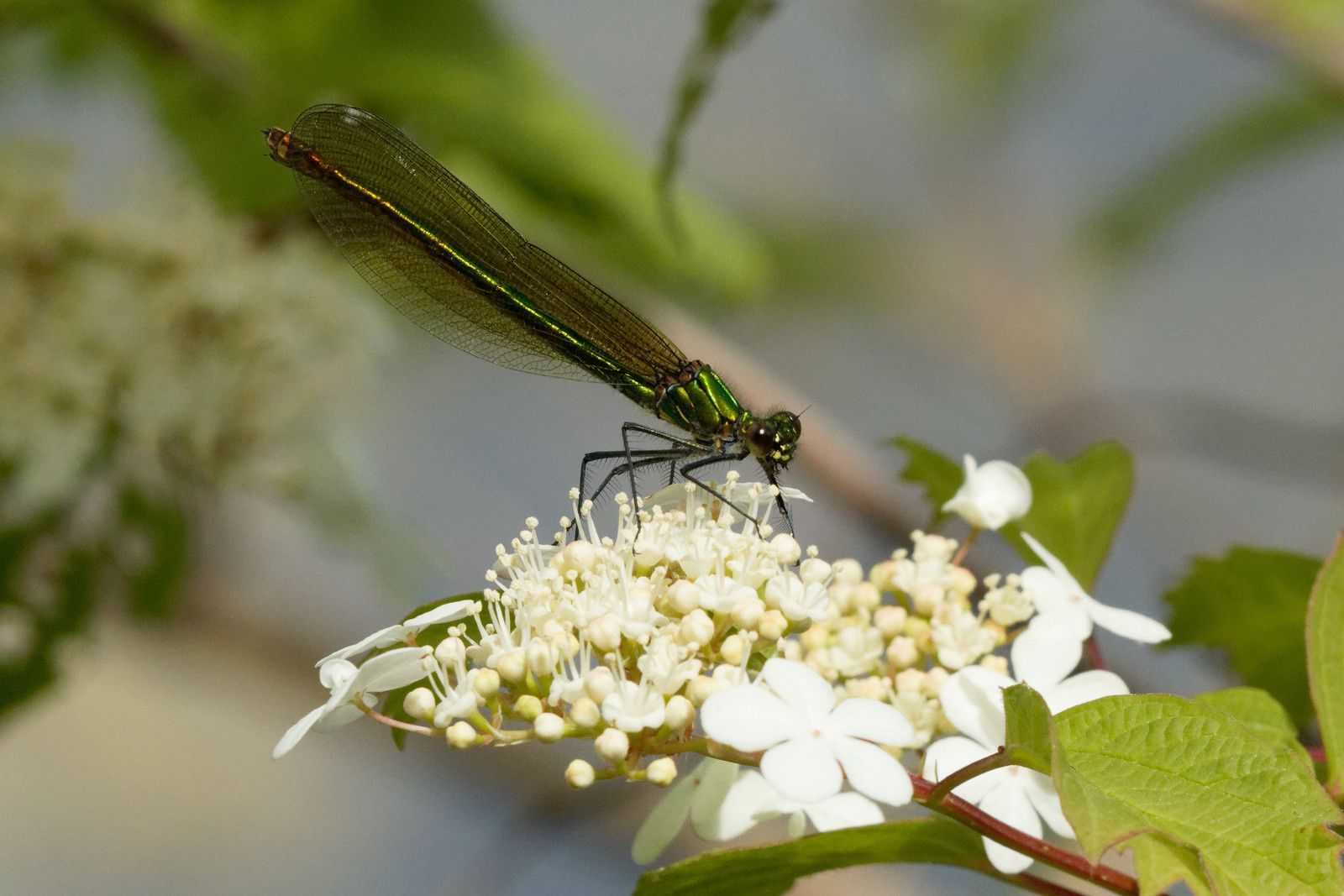 Caloptéryx éclatant, mâle et femelle