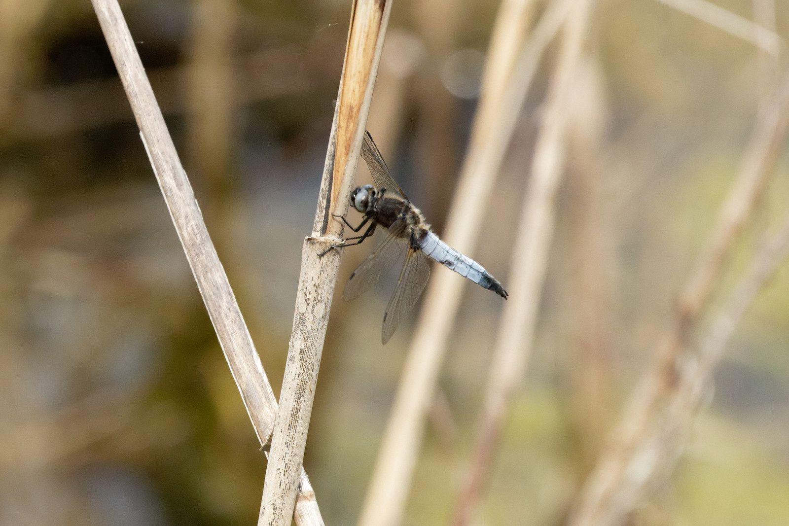 Libellule fauve, (pour les pros : yeux bleus, tâche noire à la base des ailes postérieure)