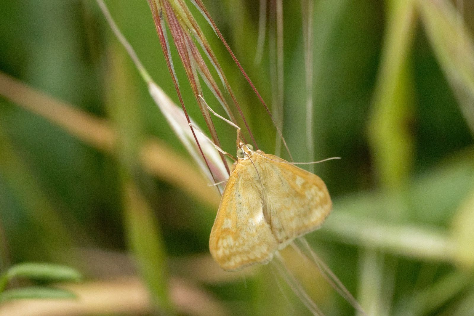 Sitochroa verticalis