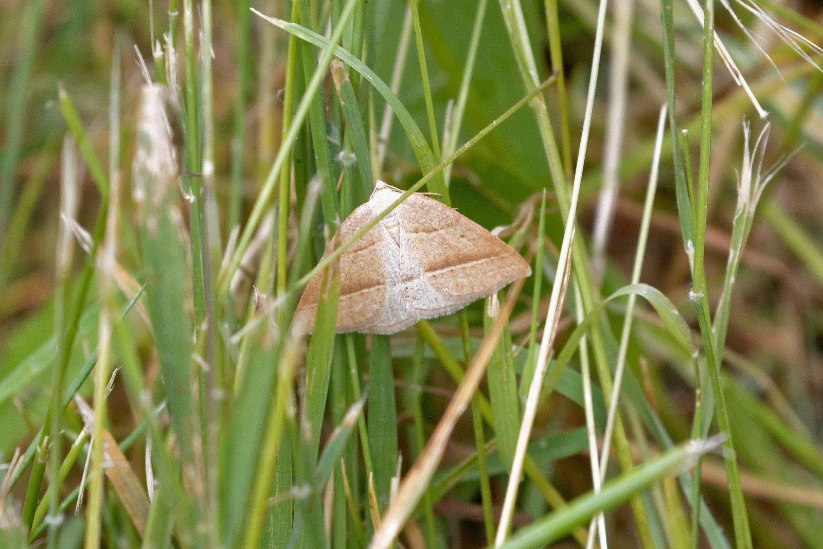 Phalène de l'Aquiline (Petrophora chlorosata)