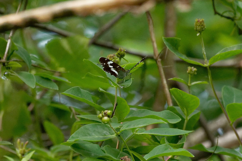390 - Sortie R.E.N.A.R.D. : Odonates et Papillons à Emerainville :  10/06/2018