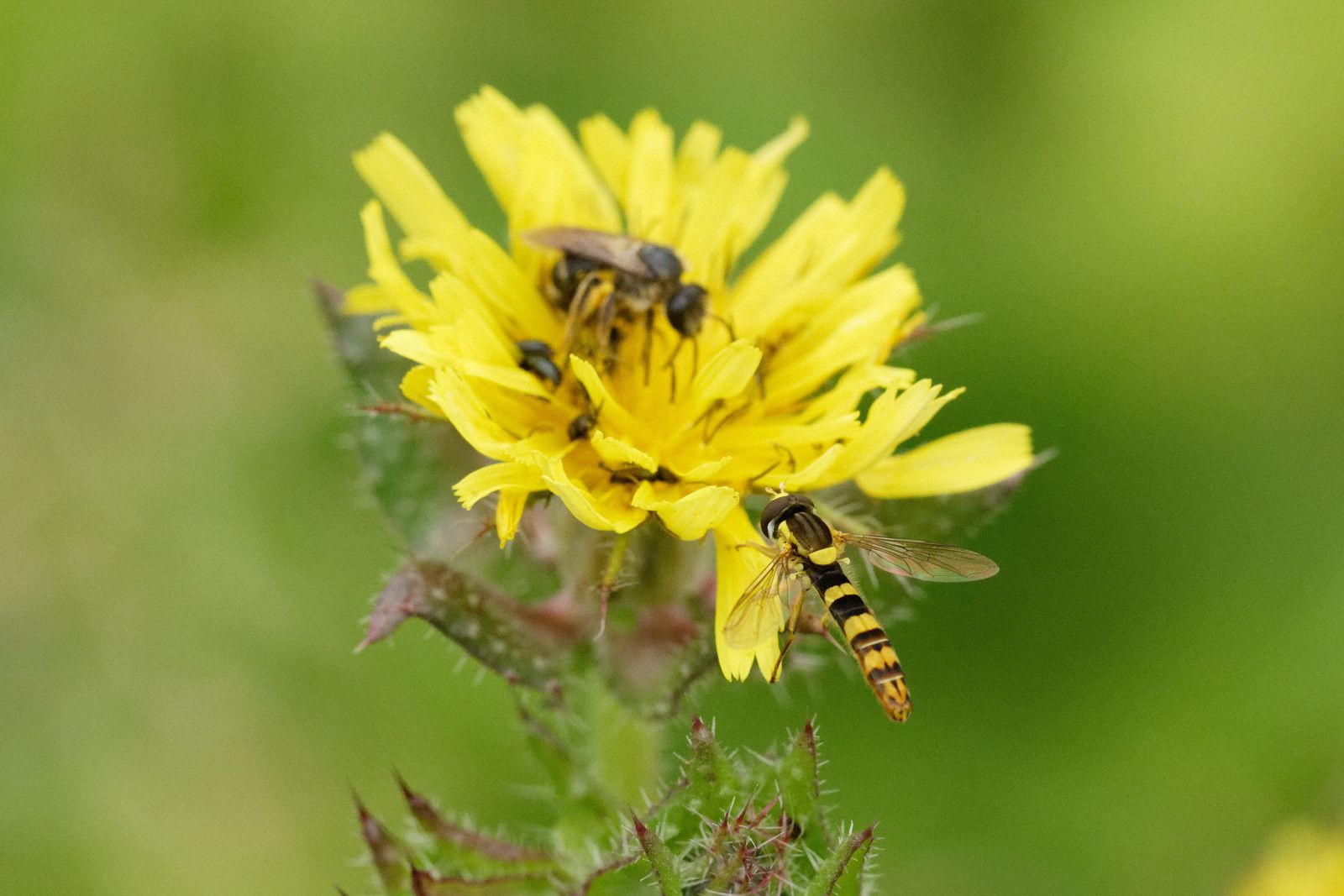 Syrphe porte-plume, Abeille sauvage et micros-Coléoptères