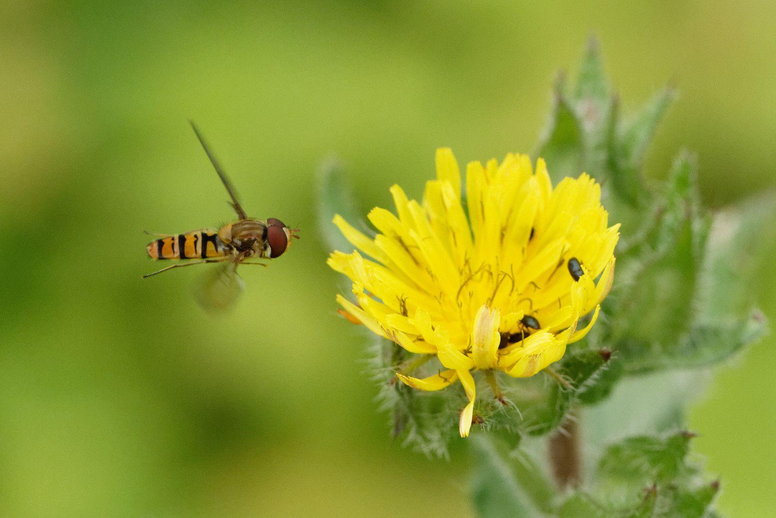 Syrphe ceinturé et micros-Coléoptères