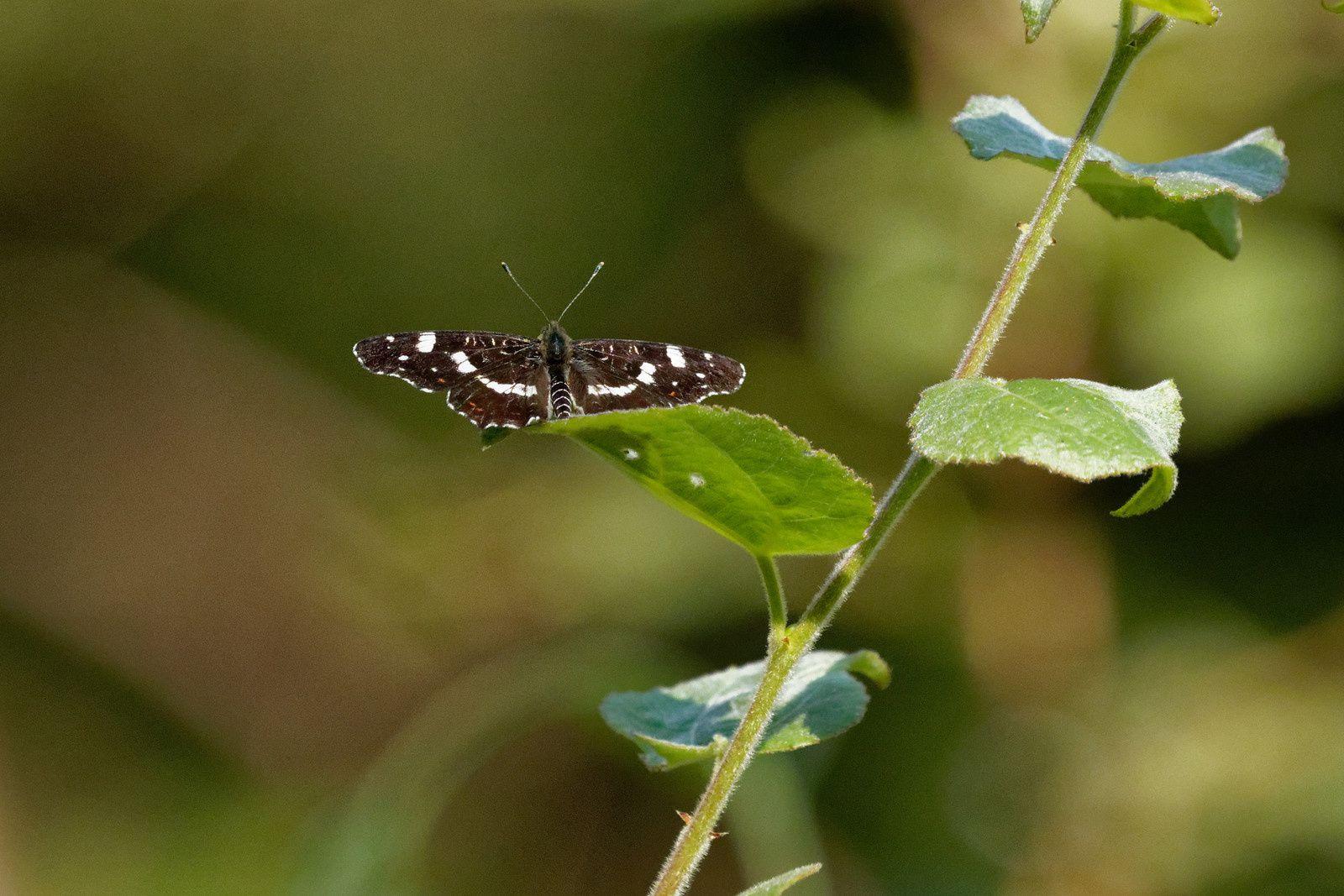 396 - Sortie R.E.N.A.R.D. à Lésigny pour les Odonates et Papillons : 30/06/2018